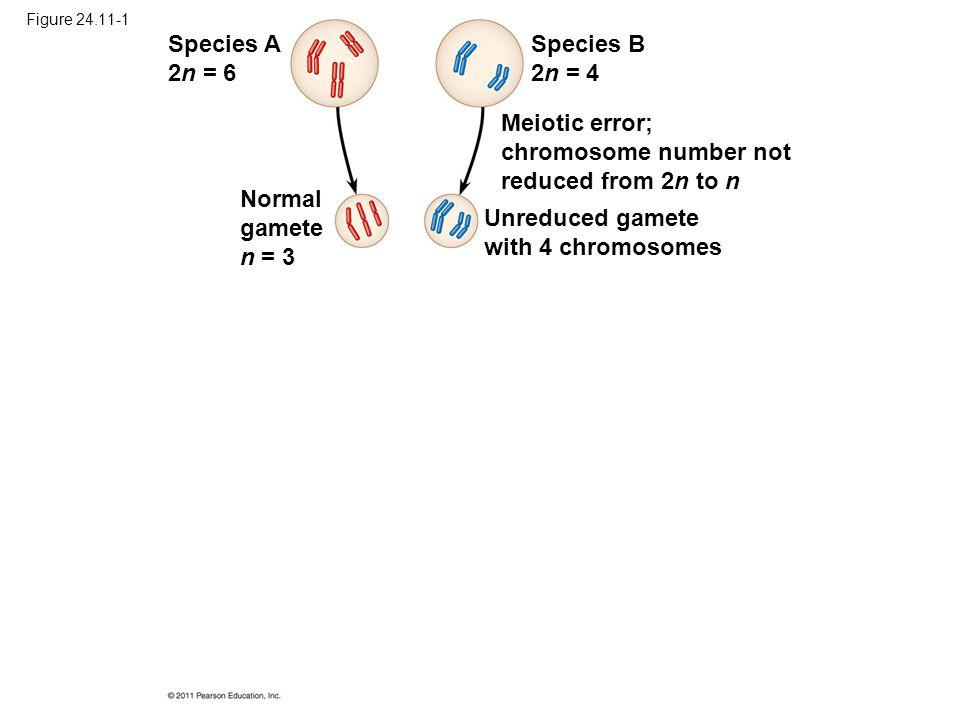 Figure 24.11-1 Species A 2n = 6 Species B 2n = 4 Normal gamete n = 3 Meiotic error; chromosome number not reduced from 2n to n Unreduced gamete with 4