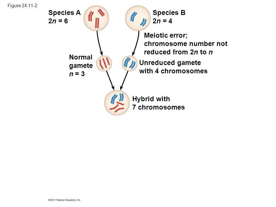 Figure 24.11-2 Species A 2n = 6 Species B 2n = 4 Normal gamete n = 3 Meiotic error; chromosome number not reduced from 2n to n Unreduced gamete with 4