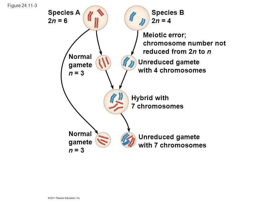 Figure 24.11-3 Species A 2n = 6 Species B 2n = 4 Normal gamete n = 3 Meiotic error; chromosome number not reduced from 2n to n Unreduced gamete with 4
