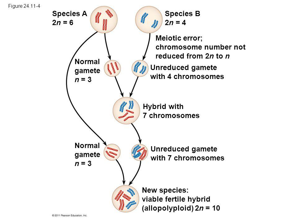 Figure 24.11-4 Species A 2n = 6 Species B 2n = 4 Normal gamete n = 3 Meiotic error; chromosome number not reduced from 2n to n Unreduced gamete with 4