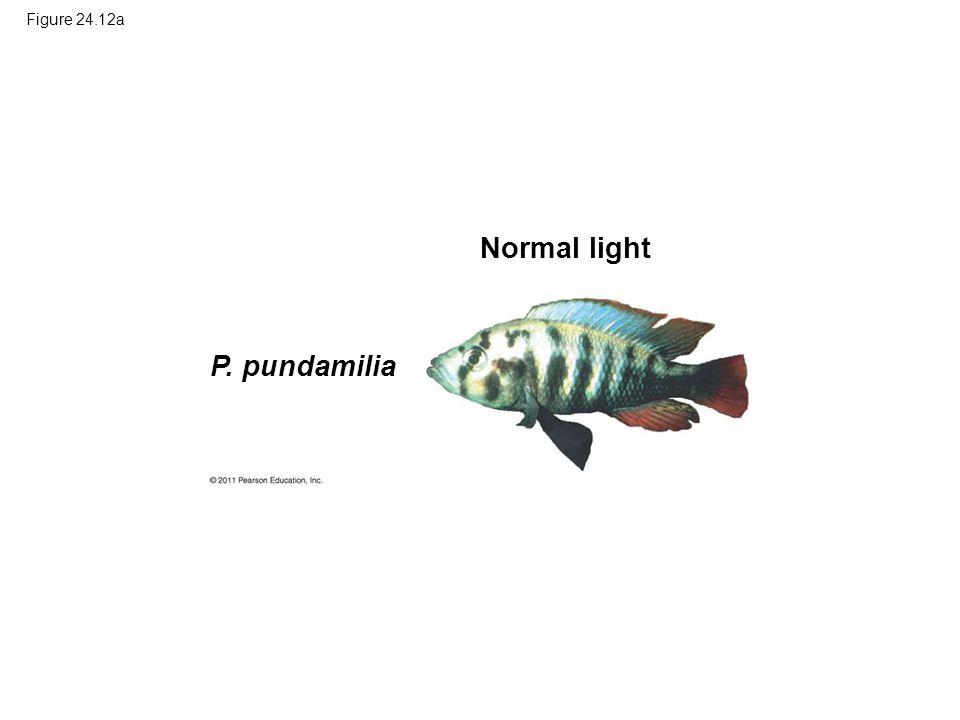 Figure 24.12a P. pundamilia Normal light
