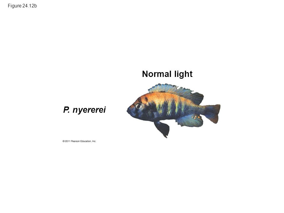 Figure 24.12b P. nyererei Normal light