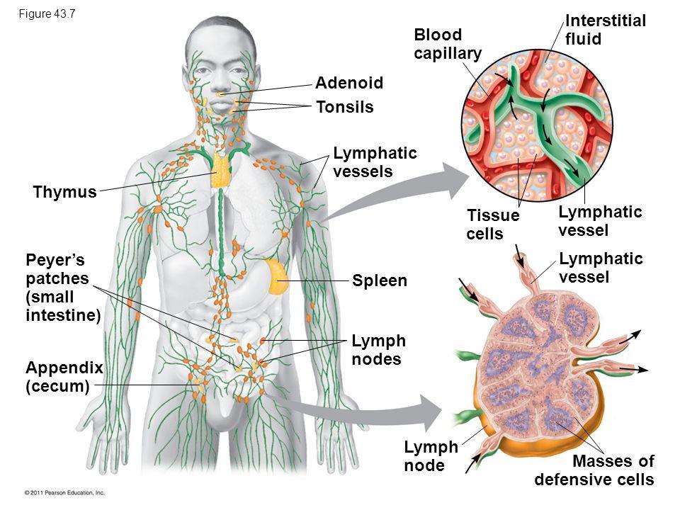 Thymus Peyer's patches (small intestine) Appendix (cecum) Adenoid Tonsils Lymphatic vessels Spleen Lymph nodes Lymph node Blood capillary Interstitial