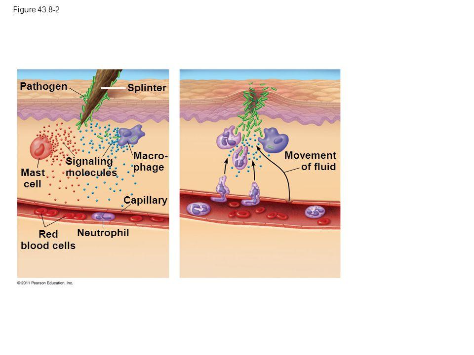 Figure 43.8-2 Pathogen Splinter Mast cell Macro- phage Capillary Red blood cells Neutrophil Signaling molecules Movement of fluid