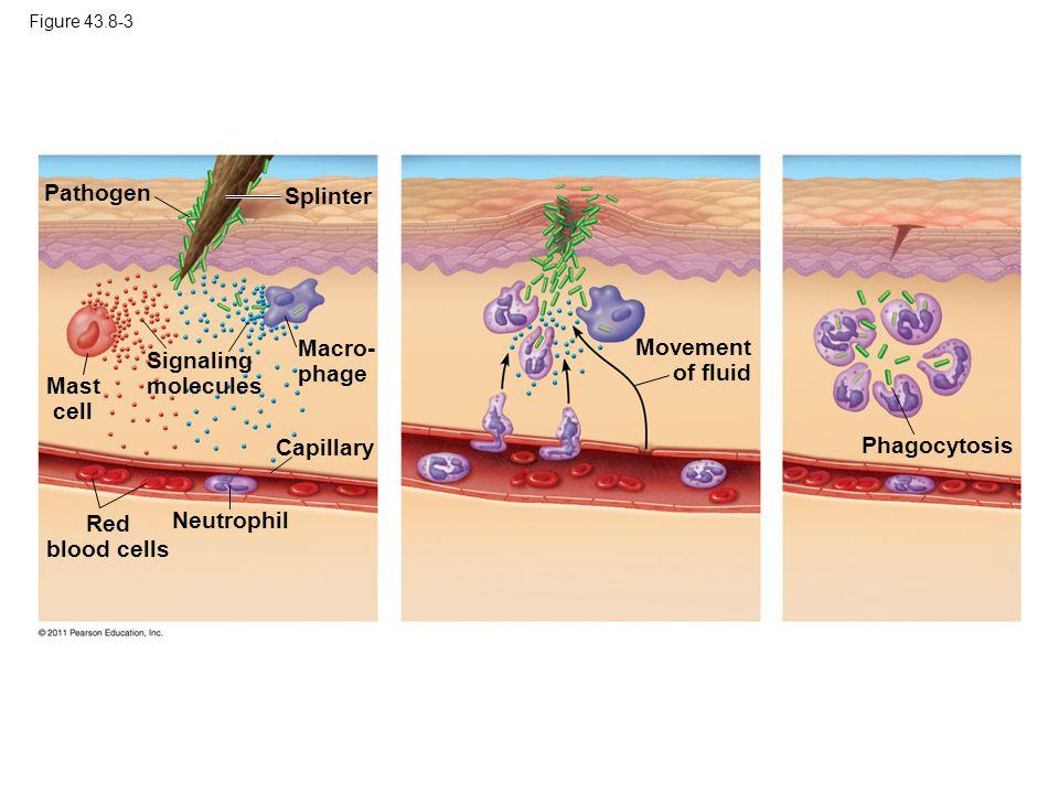 Figure 43.8-3 Pathogen Splinter Mast cell Macro- phage Capillary Red blood cells Neutrophil Signaling molecules Movement of fluid Phagocytosis