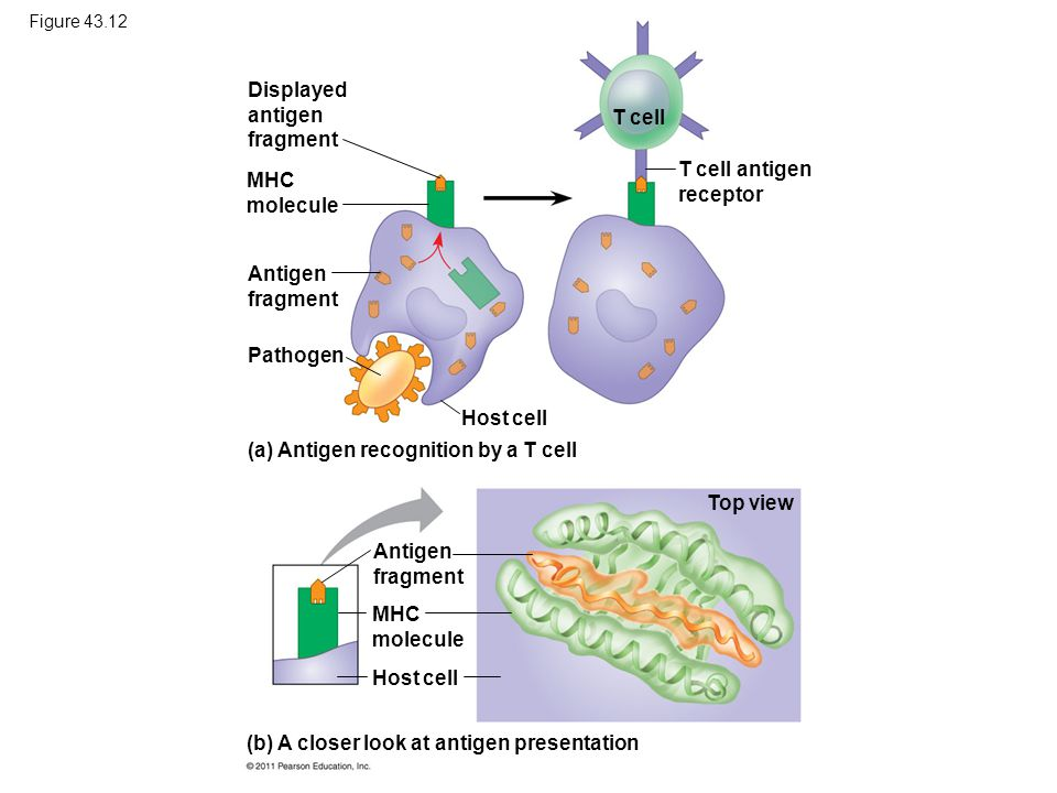 Figure 43.12 Displayed antigen fragment MHC molecule Antigen fragment Pathogen Host cell T cell T cell antigen receptor (a) Antigen recognition by a T
