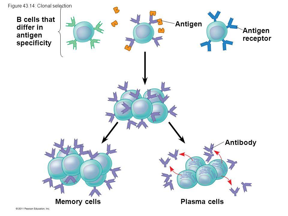 Antigen Antigen receptor Antibody Plasma cells Memory cells B cells that differ in antigen specificity Figure 43.14: Clonal selection