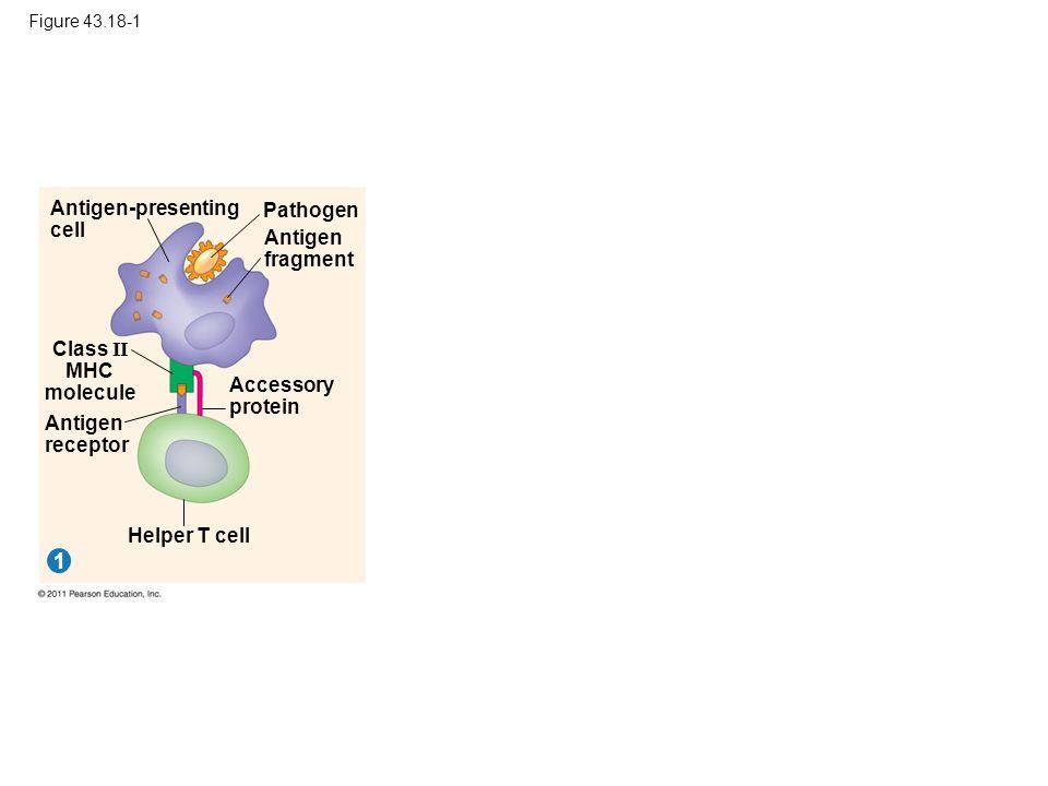 Figure 43.18-1 Pathogen 1 Antigen-presenting cell Antigen fragment Class II MHC molecule Antigen receptor Accessory protein Helper T cell