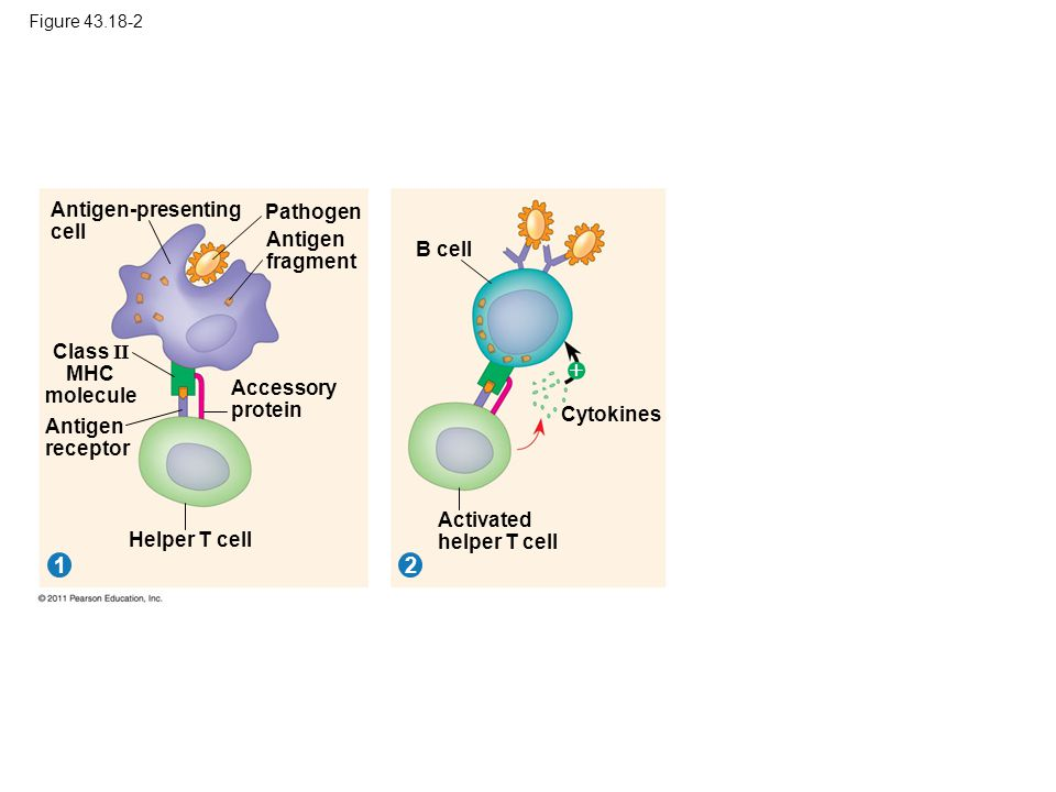 Figure 43.18-2 Pathogen 12 Antigen-presenting cell Antigen fragment Class II MHC molecule Antigen receptor Accessory protein Helper T cell B cell Cyto