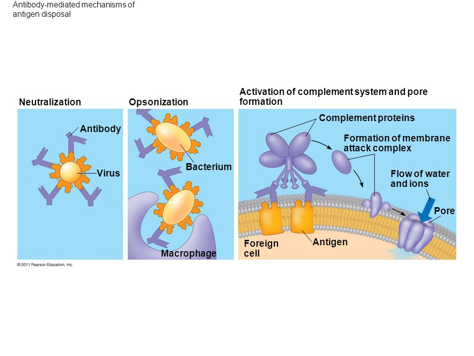Antibody-mediated mechanisms of antigen disposal Opsonization Neutralization Antibody Virus Bacterium Macrophage Activation of complement system and p
