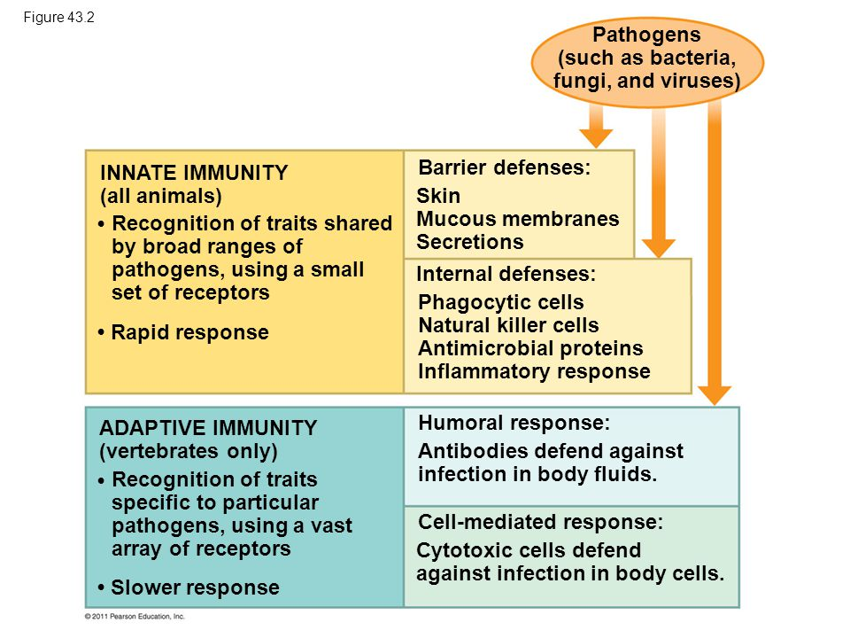 Concept 43.1: In innate immunity, recognition and response rely on traits common to groups of pathogens Innate immunity is found in all animals and plants In vertebrates, innate immunity is a first response to infections and also serves as the foundation of adaptive immunity © 2011 Pearson Education, Inc.