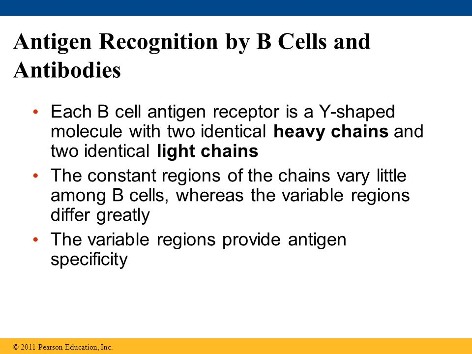 Antigen Recognition by B Cells and Antibodies Each B cell antigen receptor is a Y-shaped molecule with two identical heavy chains and two identical li