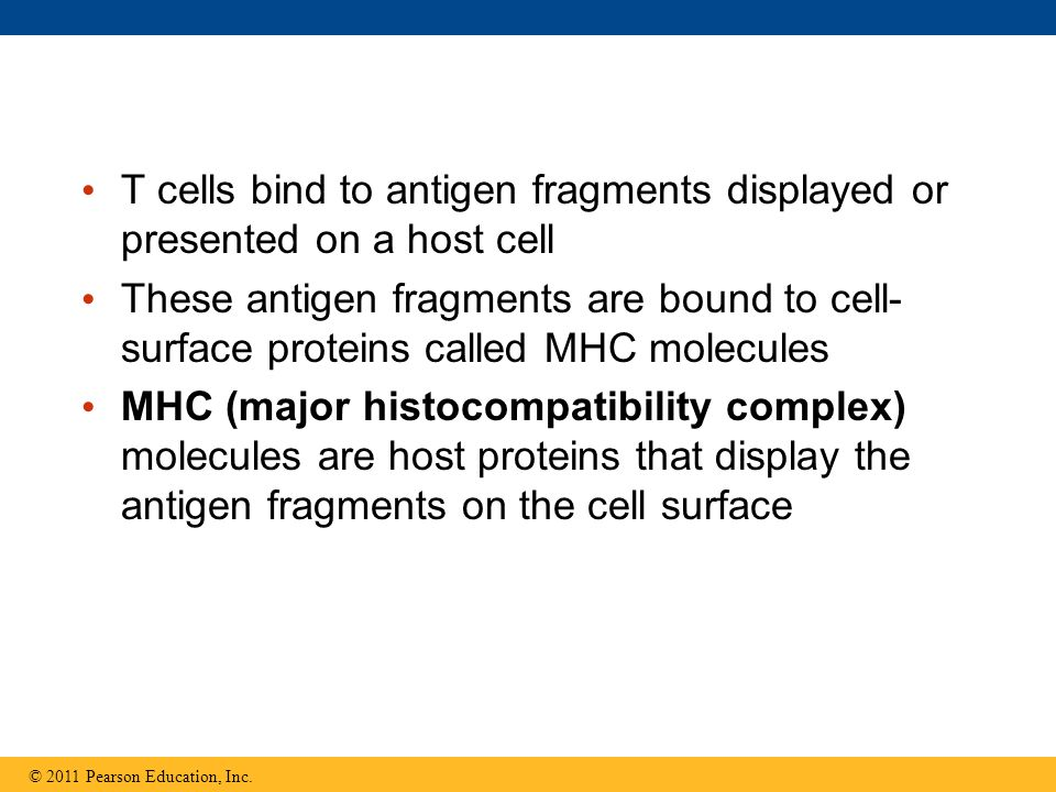 T cells bind to antigen fragments displayed or presented on a host cell These antigen fragments are bound to cell- surface proteins called MHC molecul