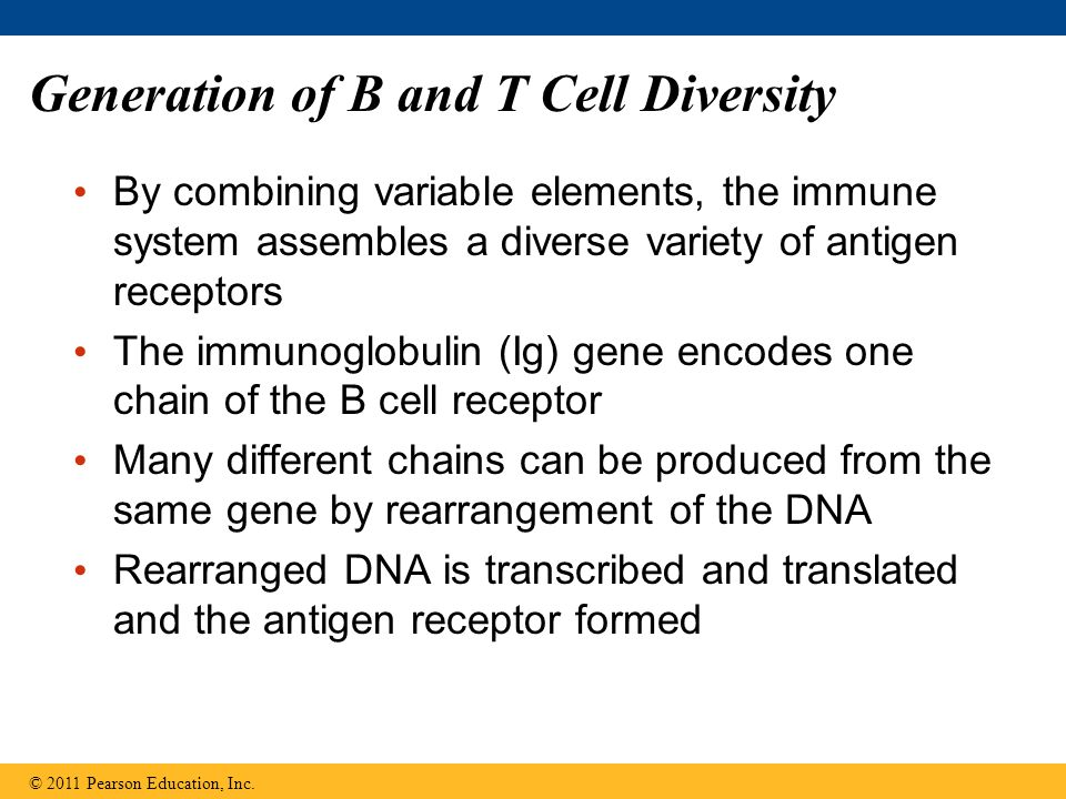 Generation of B and T Cell Diversity By combining variable elements, the immune system assembles a diverse variety of antigen receptors The immunoglob