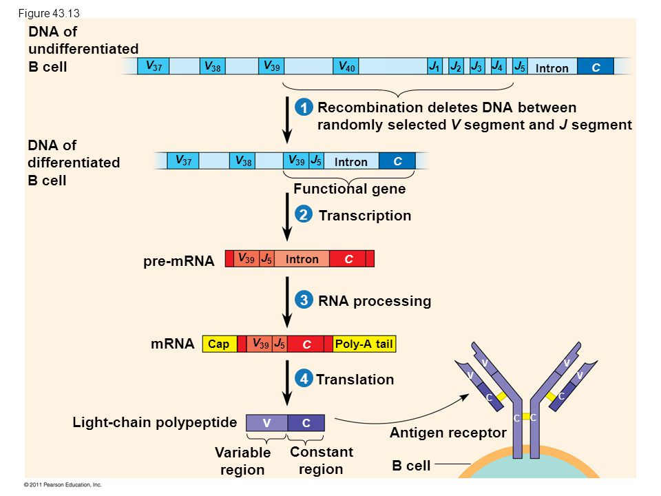 DNA of undifferentiated B cell DNA of differentiated B cell Recombination deletes DNA between randomly selected V segment and J segment Functional gen