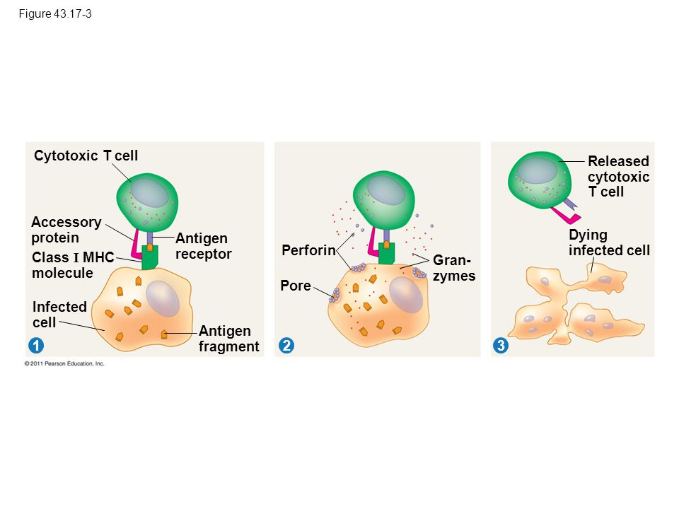 Figure 43.17-3 Cytotoxic T cell 312 Accessory protein Class I MHC molecule Infected cell Antigen receptor Antigen fragment Perforin Pore Gran- zymes R