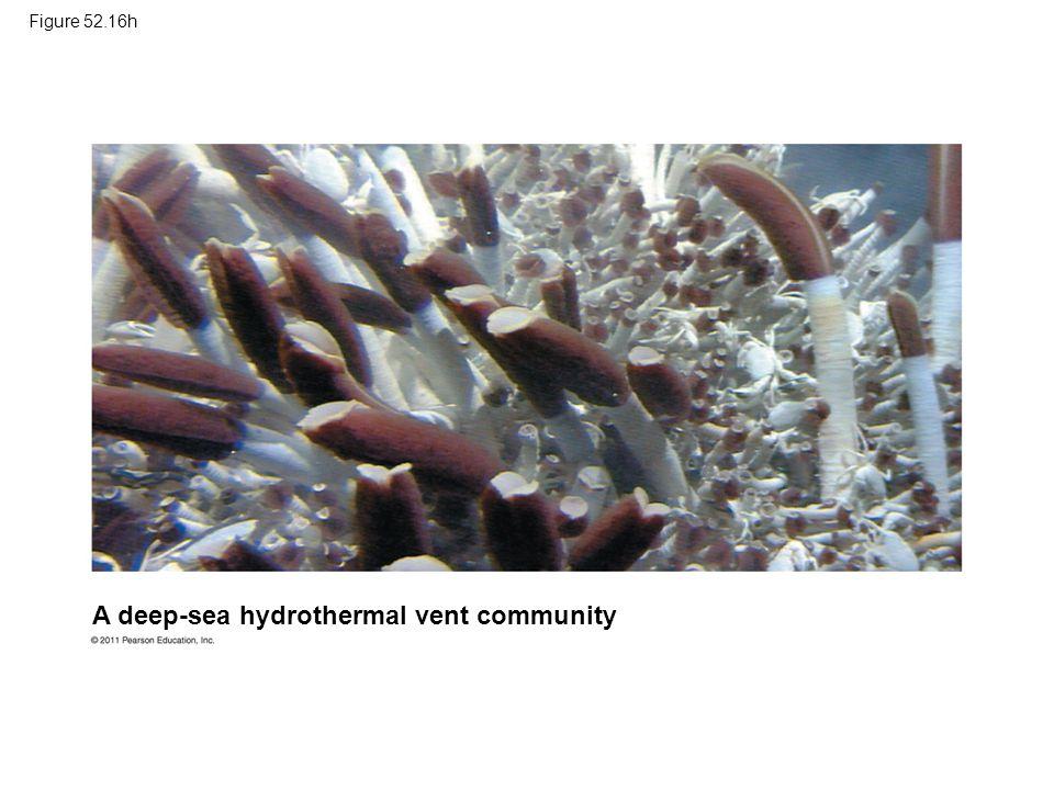 Figure 52.16h A deep-sea hydrothermal vent community