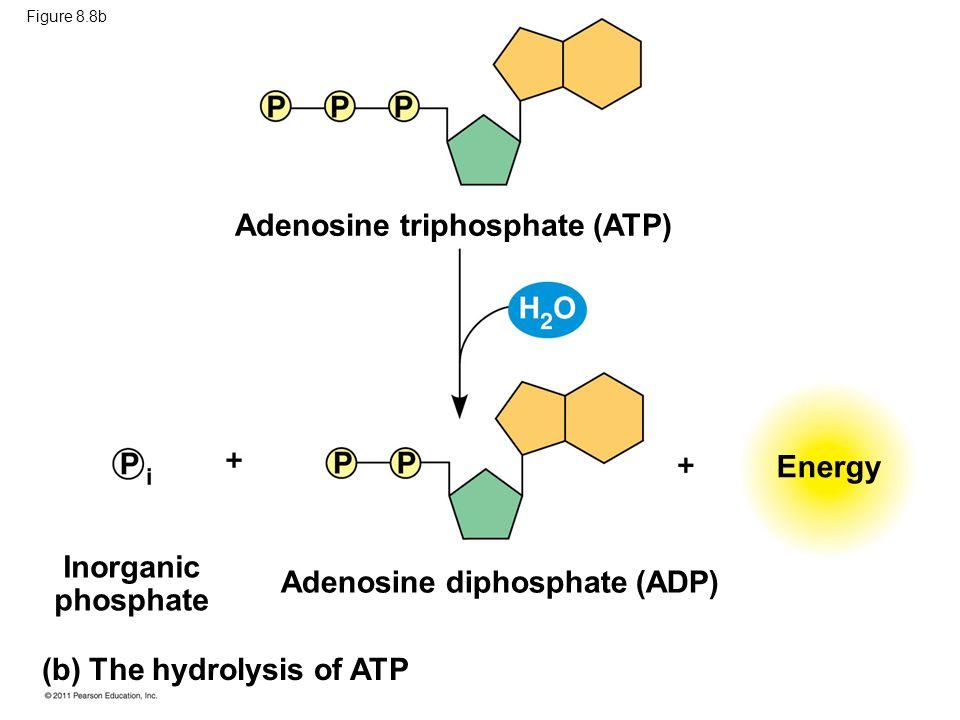 Figure 8.8b Adenosine triphosphate (ATP) Energy Inorganic phosphate Adenosine diphosphate (ADP) (b) The hydrolysis of ATP
