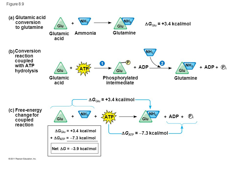 Figure 8.9 Glutamic acid Ammonia Glutamine (b) Conversion reaction coupled with ATP hydrolysis Glutamic acid conversion to glutamine (a) (c) Free-ener