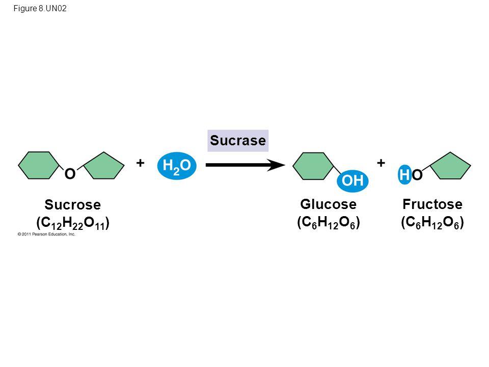 Figure 8.UN02 Sucrase Sucrose (C 12 H 22 O 11 ) Glucose (C 6 H 12 O 6 ) Fructose (C 6 H 12 O 6 )