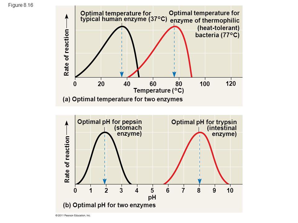Figure 8.16 Optimal temperature for typical human enzyme (37°C) Optimal temperature for enzyme of thermophilic (heat-tolerant) bacteria (77°C) Tempera