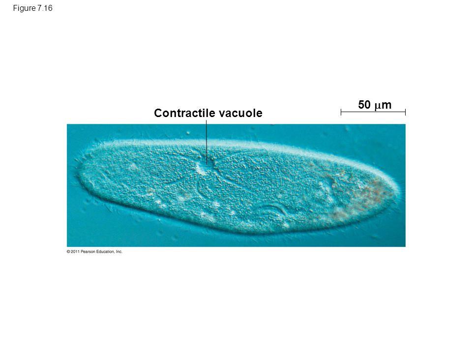 Figure 7.16 Contractile vacuole 50  m