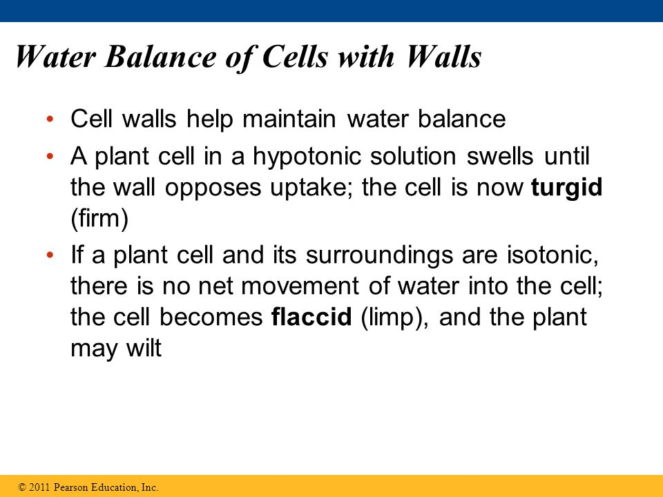Water Balance of Cells with Walls Cell walls help maintain water balance A plant cell in a hypotonic solution swells until the wall opposes uptake; the cell is now turgid (firm) If a plant cell and its surroundings are isotonic, there is no net movement of water into the cell; the cell becomes flaccid (limp), and the plant may wilt © 2011 Pearson Education, Inc.