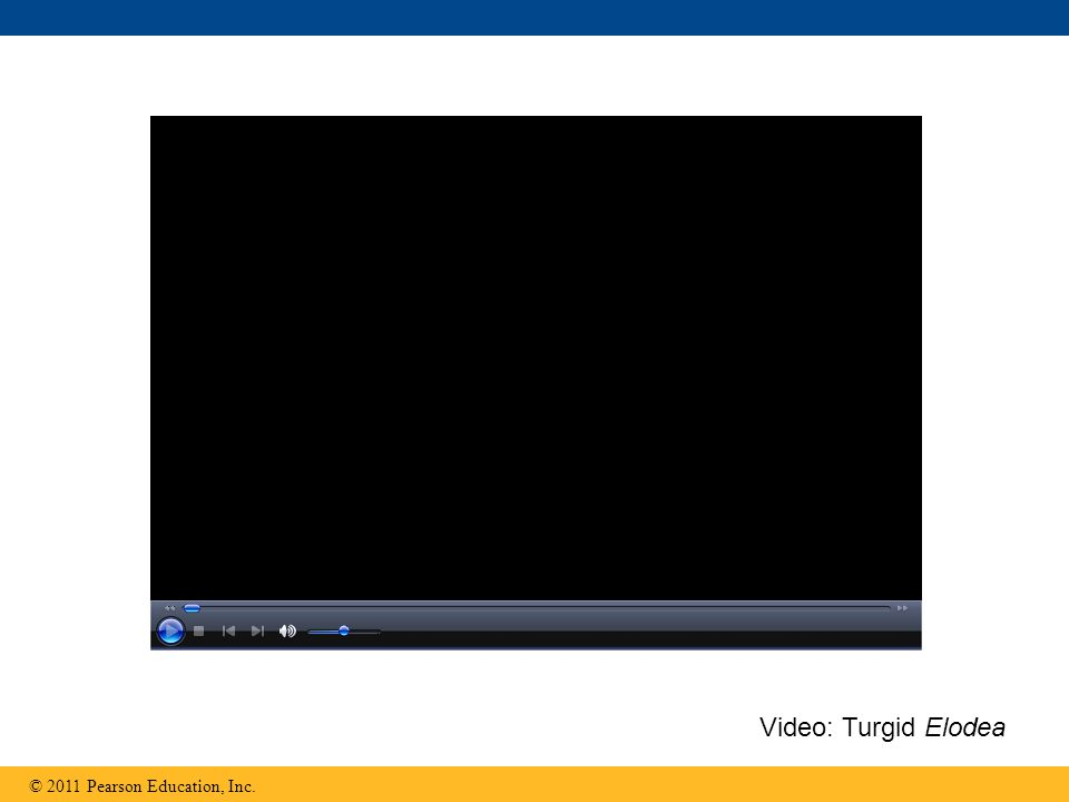 © 2011 Pearson Education, Inc. Video: Turgid Elodea