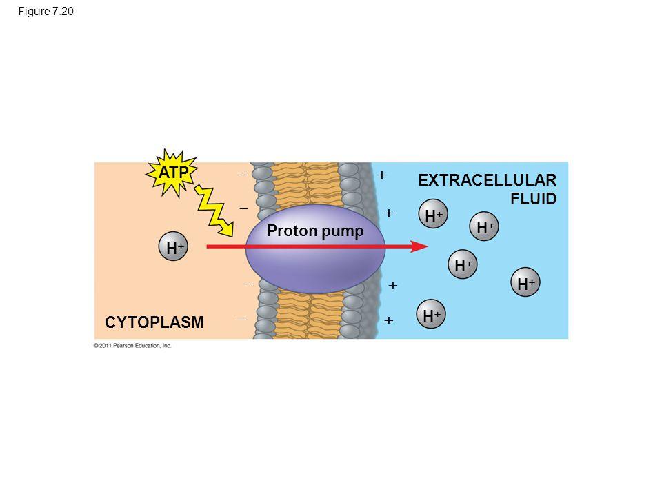 Figure 7.20 CYTOPLASM ATP EXTRACELLULAR FLUID Proton pump HH HH HH HH HH HH        