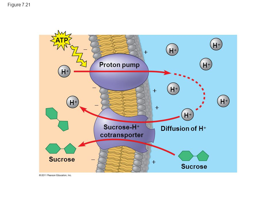 Figure 7.21 ATP HH HH HH HH HH HH HH HH Proton pump Sucrose-H  cotransporter Sucrose Diffusion of H         