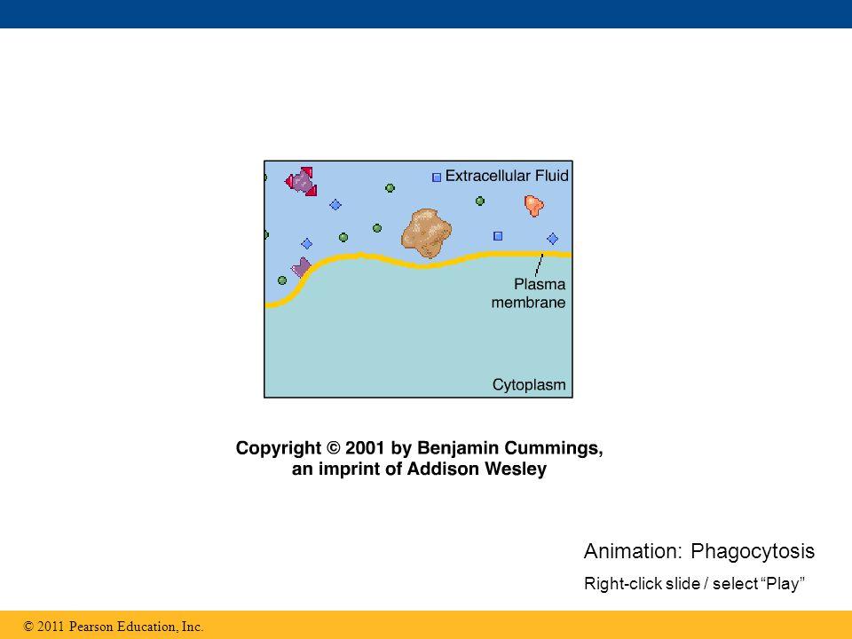 "Animation: Phagocytosis Right-click slide / select ""Play"""