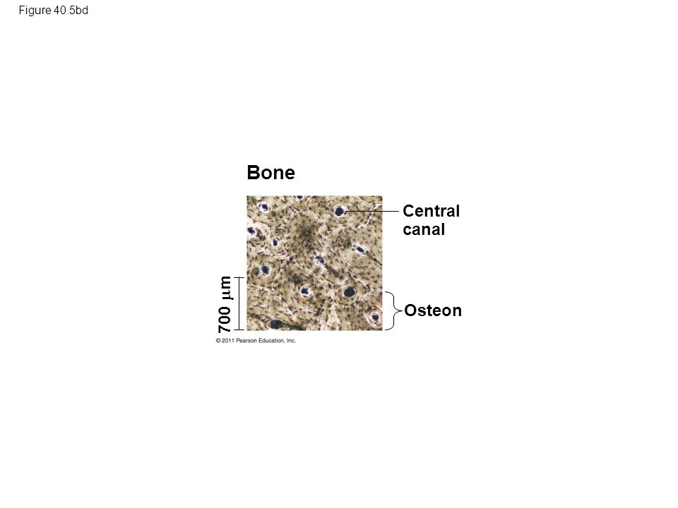 Figure 40.5bd Bone Central canal Osteon 700  m