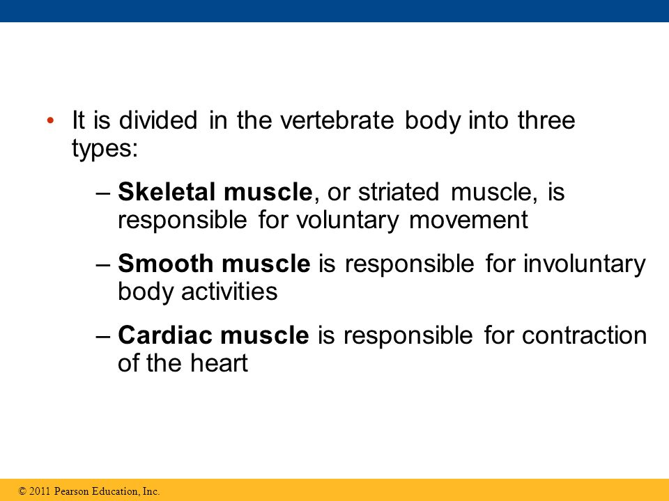 It is divided in the vertebrate body into three types: –Skeletal muscle, or striated muscle, is responsible for voluntary movement –Smooth muscle is r