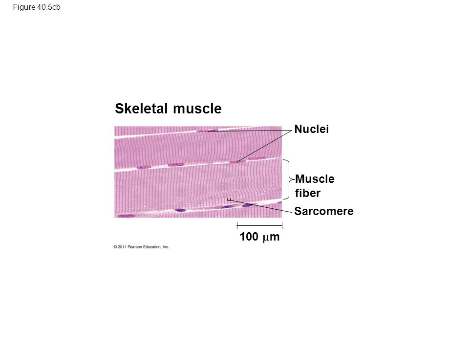 Figure 40.5cb Skeletal muscle Nuclei Muscle fiber Sarcomere 100  m