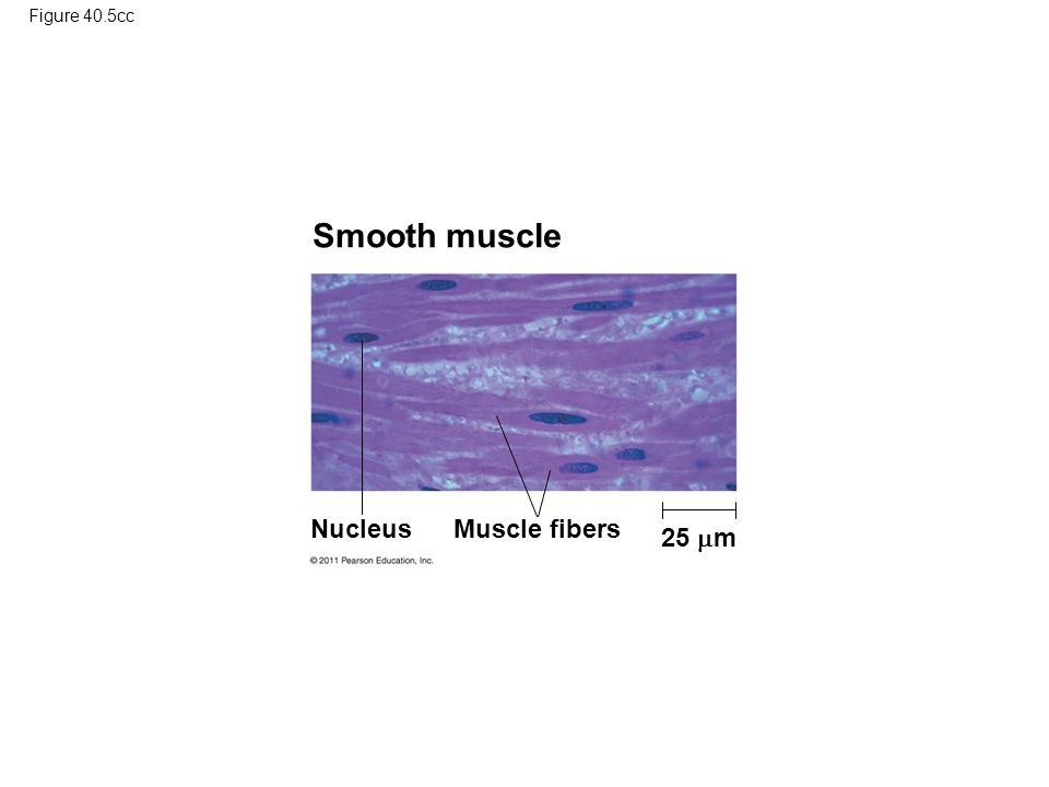 Figure 40.5cc Smooth muscle Nucleus Muscle fibers 25  m