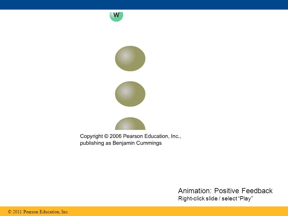 "© 2011 Pearson Education, Inc. Animation: Positive Feedback Right-click slide / select ""Play"""