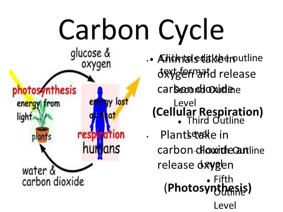 Click to edit the outline text format  Second Outline Level Third Outline Level  Fourth Outline Level Fifth Outline Level Sixth Outline Level Seventh Outline Level Eighth Outline Level Ninth Outline LevelClick to edit Master text styles – Second level Third level – Fourth level » Fifth level Carbon Cycle Animals take in oxygen and release carbon dioxide (Cellular Respiration) Plants take in carbon dioxide an release oxygen (Photosynthesis)