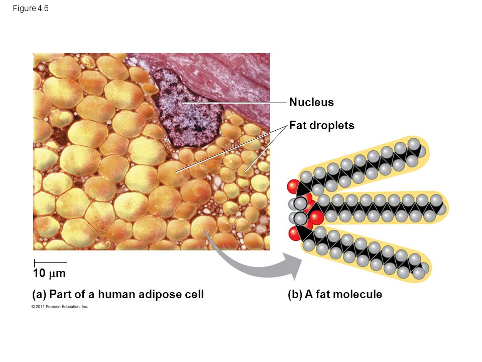 Figure 4.6 Nucleus Fat droplets (b) A fat molecule(a) Part of a human adipose cell 10  m