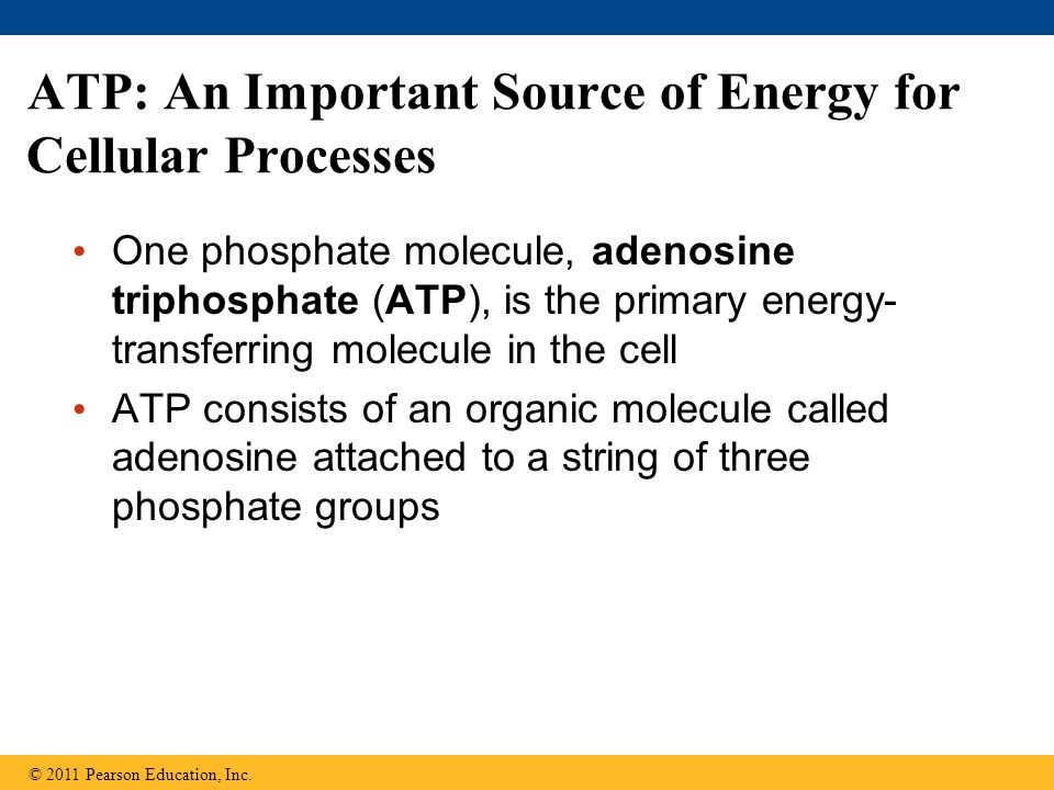 ATP: An Important Source of Energy for Cellular Processes One phosphate molecule, adenosine triphosphate (ATP), is the primary energy- transferring molecule in the cell ATP consists of an organic molecule called adenosine attached to a string of three phosphate groups © 2011 Pearson Education, Inc.