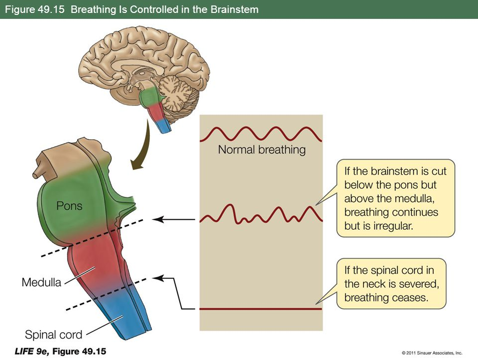 Figure 49.15 Breathing Is Controlled in the Brainstem