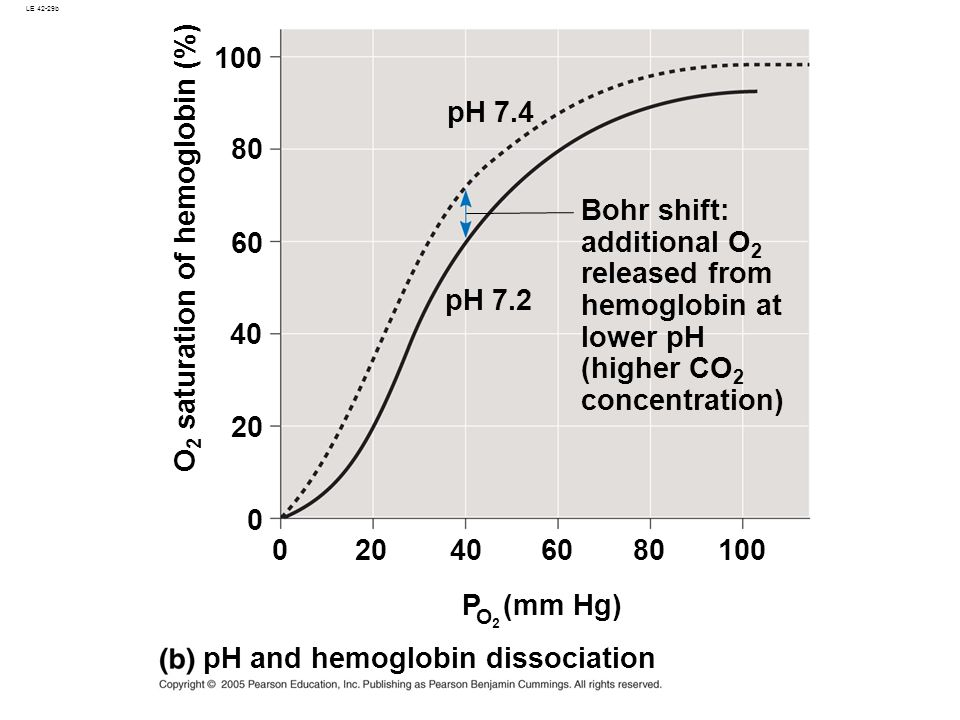 LE 42-29b Bohr shift: additional O 2 released from hemoglobin at lower pH (higher CO 2 concentration) pH and hemoglobin dissociation P (mm Hg) O2O2 10080 6040200 0 40 60 80 100 O 2 saturation of hemoglobin (%) pH 7.2 pH 7.4