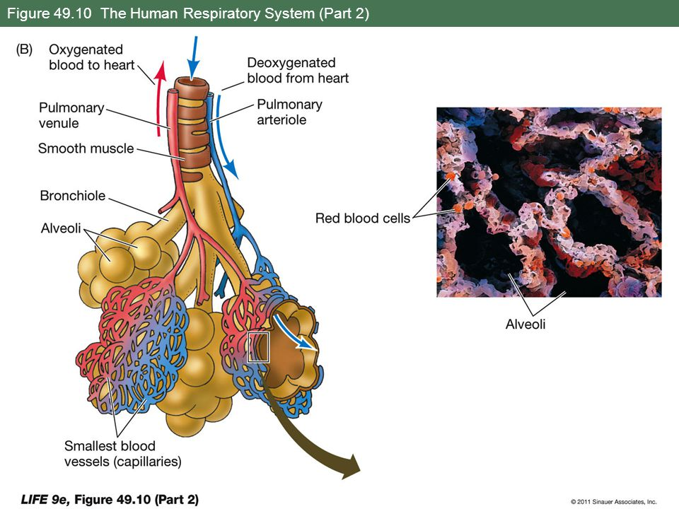 Figure 49.10 The Human Respiratory System (Part 2)
