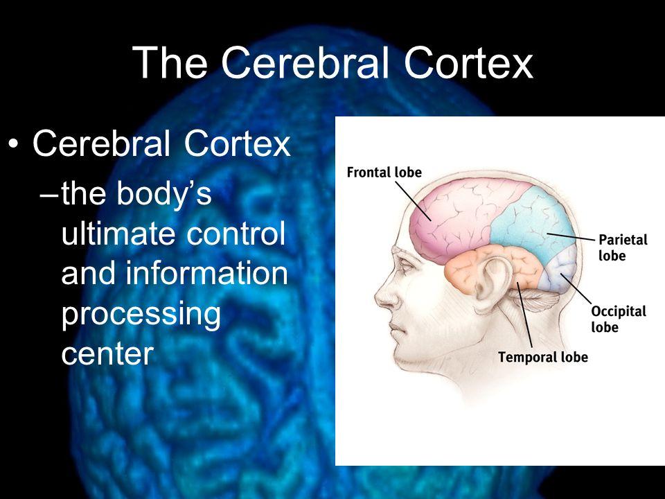 The Cerebral Cortex Cerebral Cortex –the body's ultimate control and information processing center