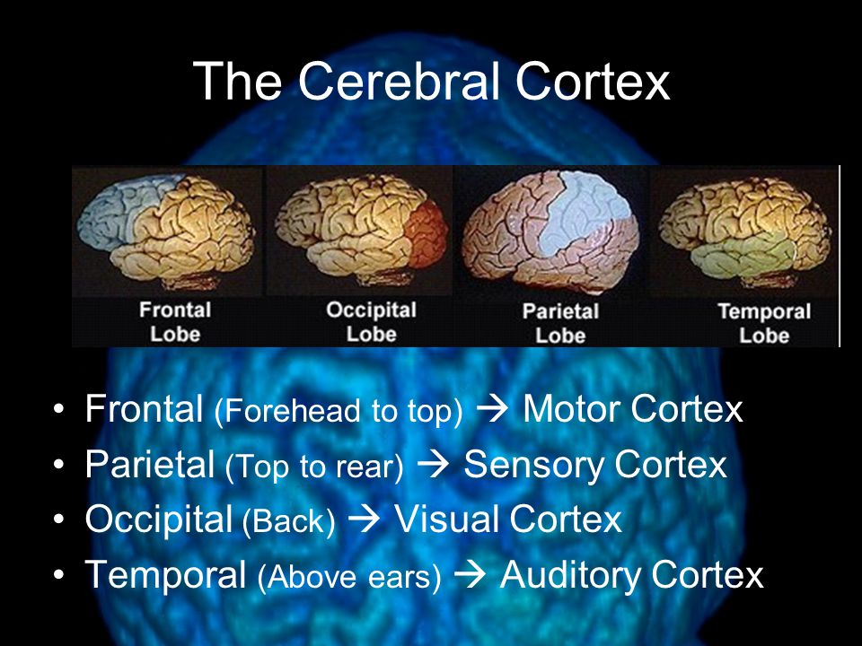 The Cerebral Cortex Frontal (Forehead to top)  Motor Cortex Parietal (Top to rear)  Sensory Cortex Occipital (Back)  Visual Cortex Temporal (Above ears)  Auditory Cortex