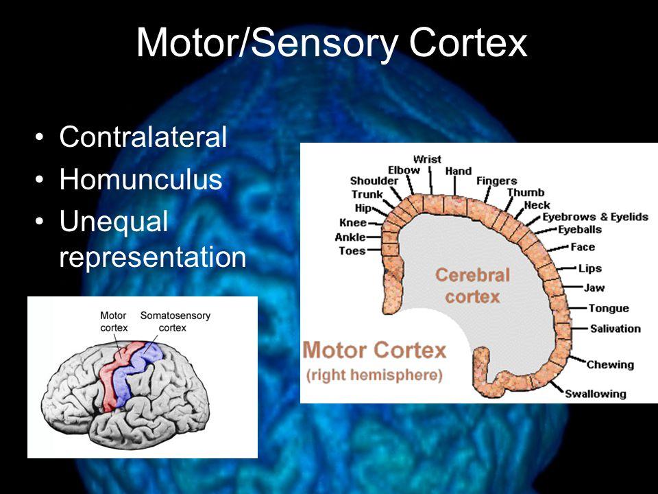Motor/Sensory Cortex Contralateral Homunculus Unequal representation