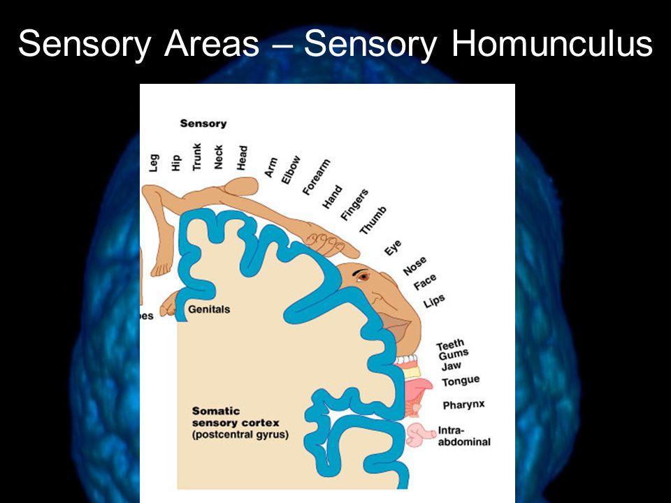 Sensory Areas – Sensory Homunculus Figure 13.10