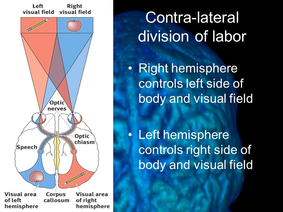 Contra-lateral division of labor Right hemisphere controls left side of body and visual field Left hemisphere controls right side of body and visual field