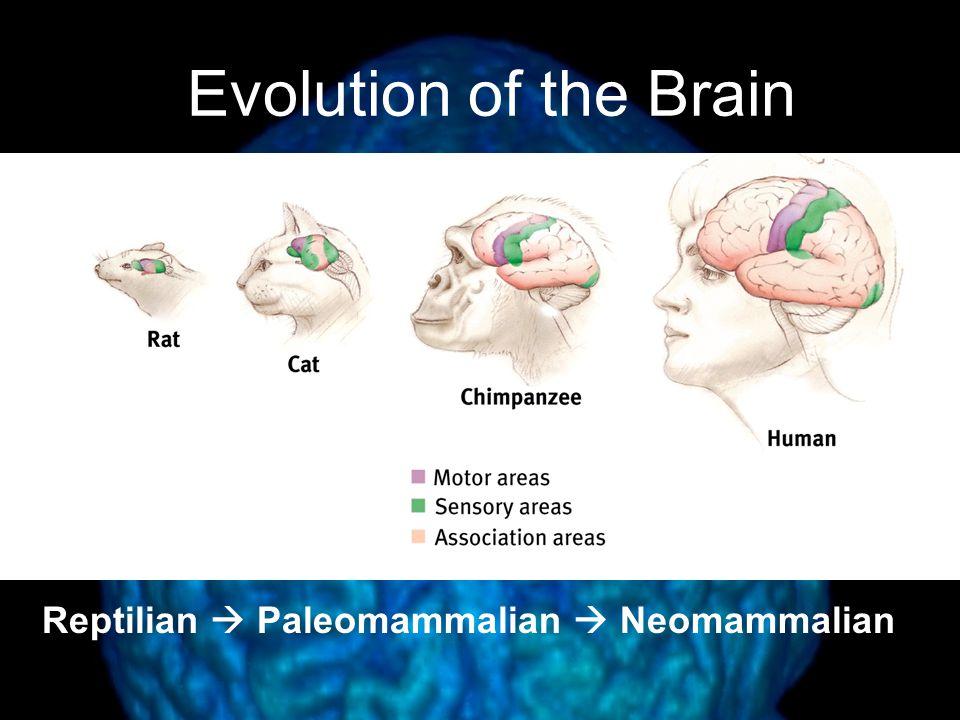 Evolution of the Brain Reptilian  Paleomammalian  Neomammalian