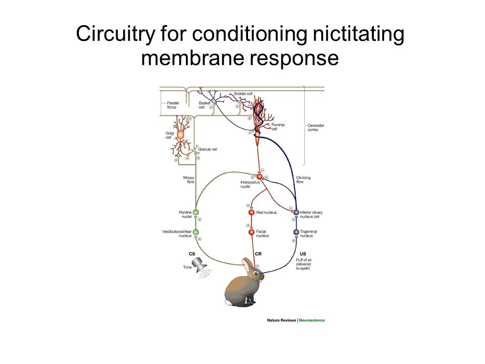 Circuitry for conditioning nictitating membrane response