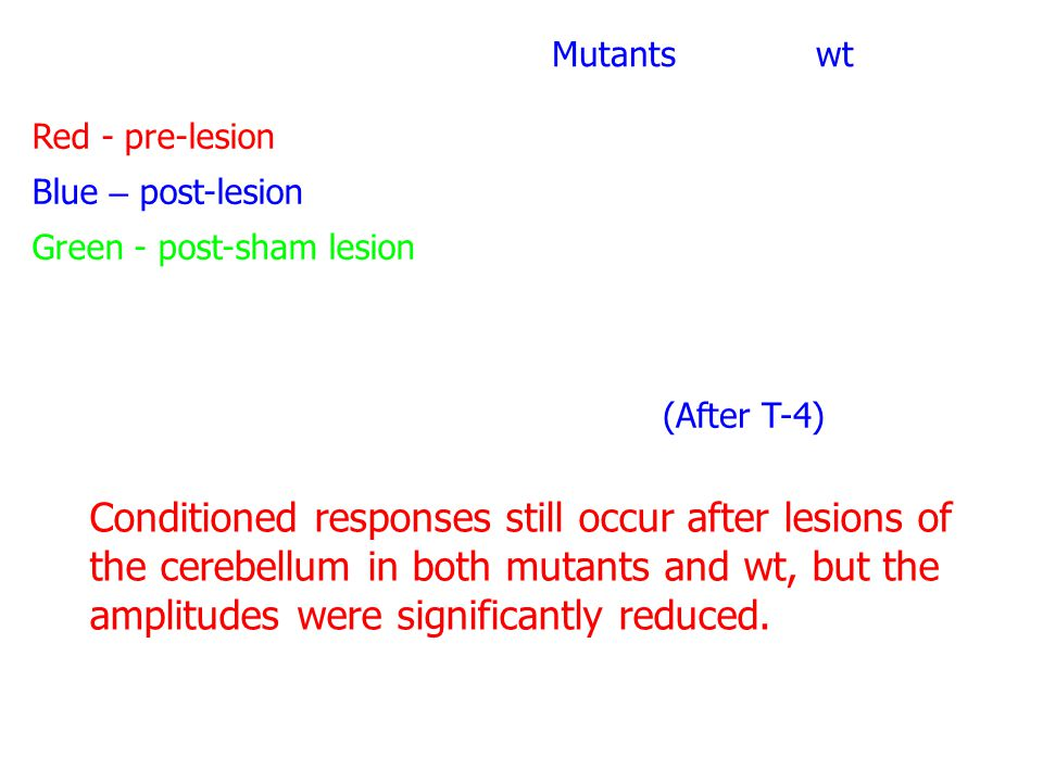 Red - pre-lesion Blue – post-lesion Green - post-sham lesion Mutants wt (After T-4) Conditioned responses still occur after lesions of the cerebellum in both mutants and wt, but the amplitudes were significantly reduced.